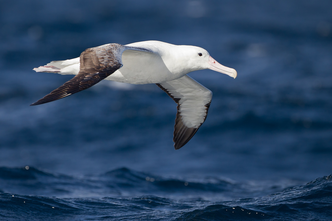 Visit the albatross bird colony at the Royal Albatross Centre in Dunedin