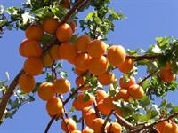 Apricots on the Tree - Central Otago