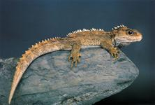 New Zealand's own living dinosaur - the Tuatara - Photography by Tourism New Zealand