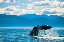Whale Watching in Kaikoura - Photography by Chris McLennan