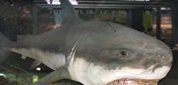 New Zealand Great White Shark at Puke Ariki Museum