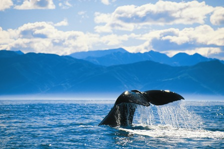 Whale watching in Kaikoura during a nz campervan tour