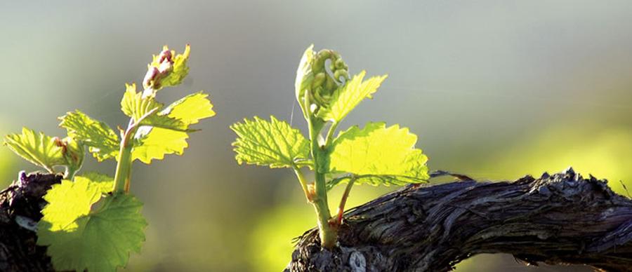 Aroha Luxury Tours - New Zealand Wine Tours - winery grape vine
