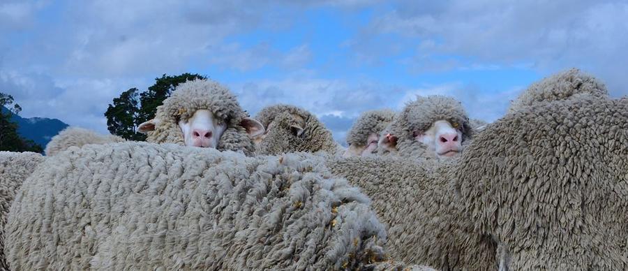 Aroha Luxury Tours - About New Zealand - Sheep farming