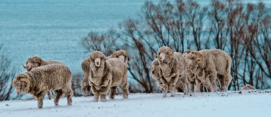 Aroha Luxury Tours - New Zealand Travel Information - Sheep farming