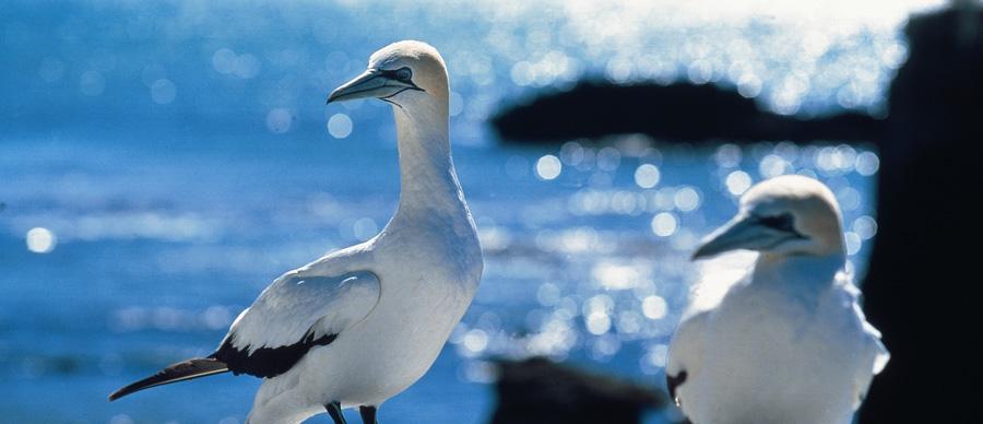 Aroha Luxury Tours - About New Zealand Birdlife - Gannets