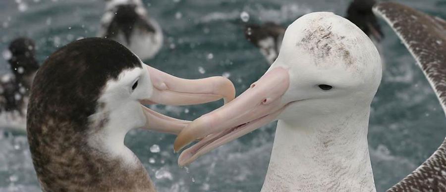 Aroha Luxury Tours - About New Zealand Birdlife - Albatross
