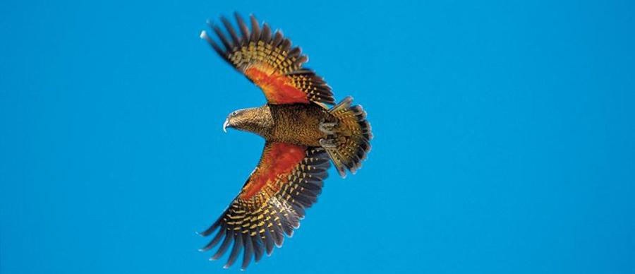 Aroha Luxury Tours - About New Zealand Birdlife - Kea