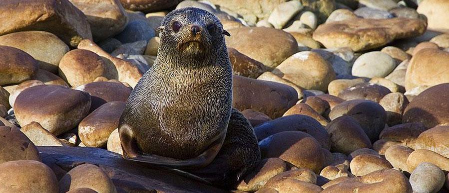 Aroha Luxury Tours - About New Zealand Marine life - Fur seals