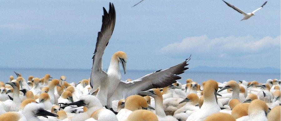 Aroha Luxury Tours - About New Zealand Marine life - Gannets
