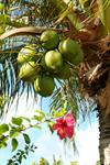 Coconuts and fragrant flowers