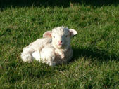 Ellies lamb