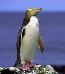 Photos courtesy of the Yellow-eyed Penguin Trust