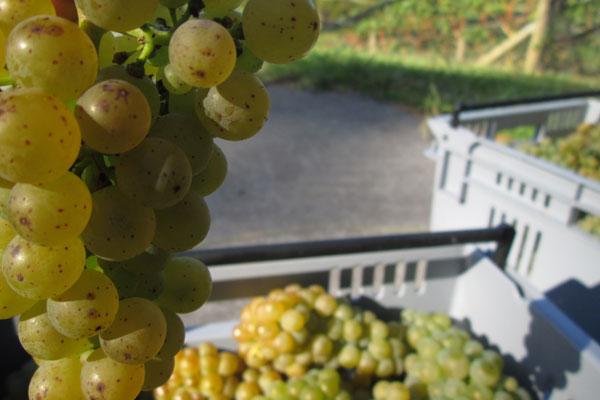Paroa Bay Winery grapes