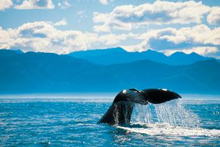 Whale Tail in Kaikoura - NZ Shore Excursions
