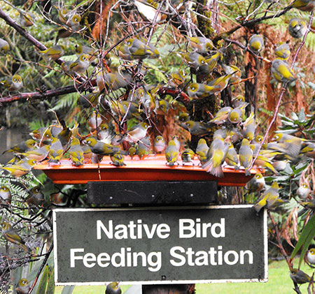 View native New Zealand birds at feeding stations at Staglands Wildlife Park