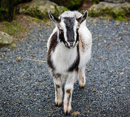 Arapawa Island kid goat at Staglands Wildlife Reserve