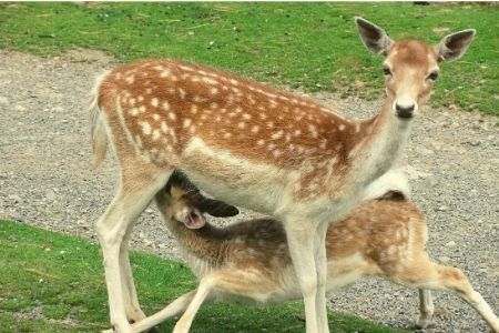 Visit The Deer Park, home to our tame fallow deer