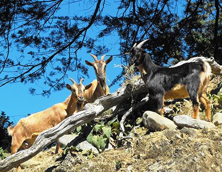 Arapawa Island goats, rare breeds at Staglands Wildlife Park