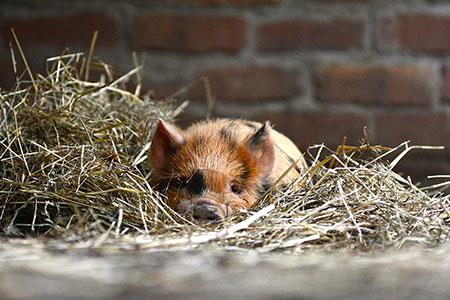 Kune kune piglet - rare breed at Staglands Wildlife Reserve