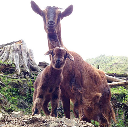 Arapawa Island nanny goat and kid, rare breed, Staglands Wildlife Reserve