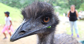 Freeroaming Emus Mork and Mindy, Staglands Upper Hutt