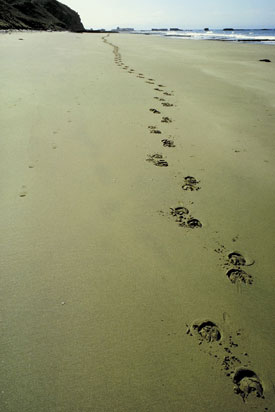 Hoofprints on Beach