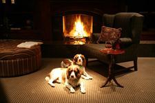 Spaniels beside the fire